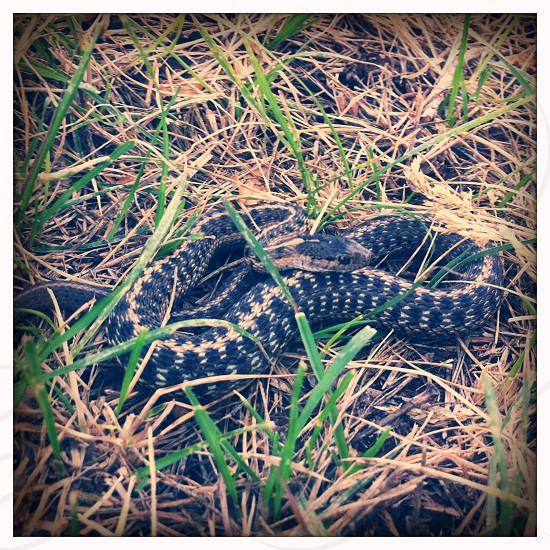 black snake with brown band photo