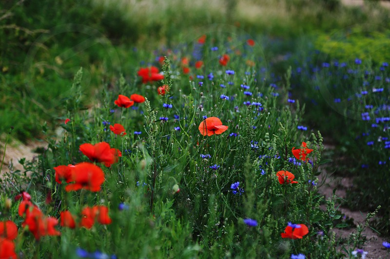 Poppies and cornflowers field cornflowers poppies poppy botany botanical  flourish  floral photo