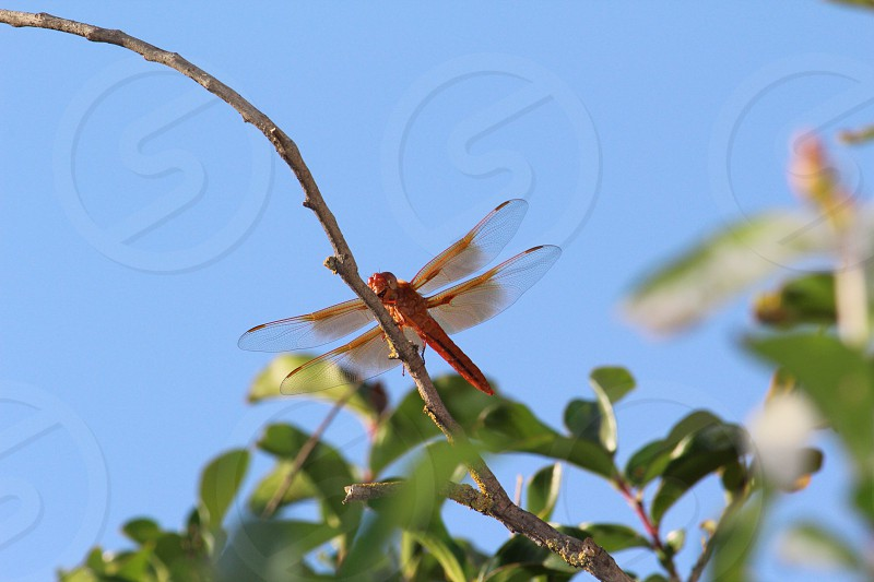 Red dragonfly on branch view from bottom photo