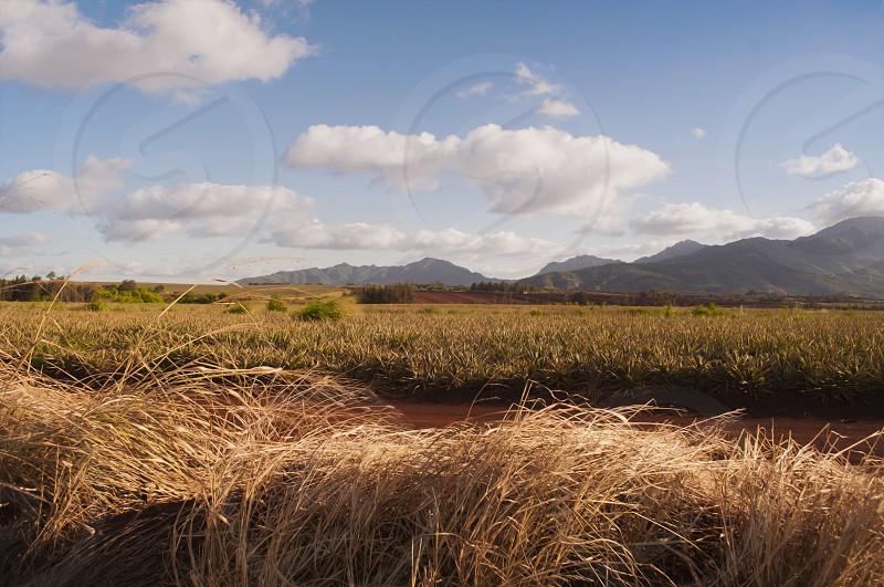 Pineapple Field Hawaii photo