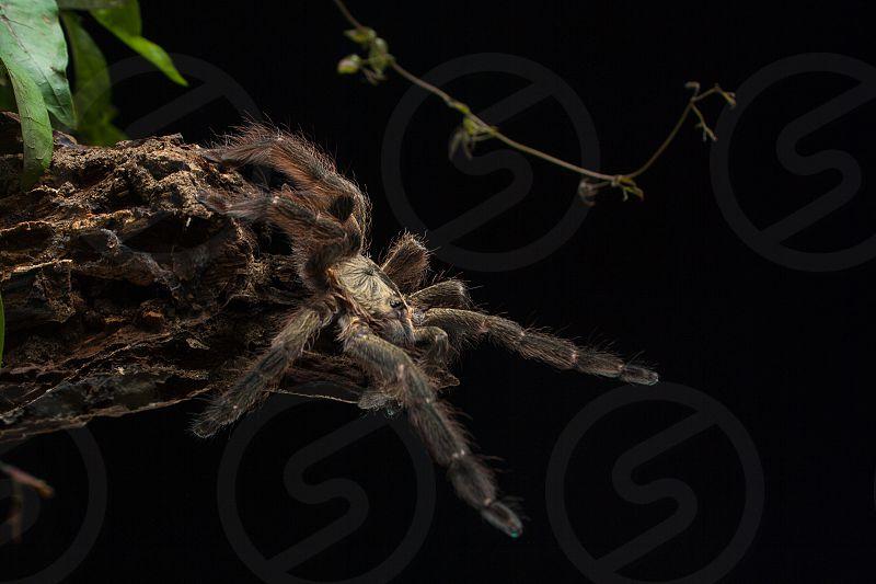 a tarantula Tapinauchenius sp. about to jump off a trunk photo