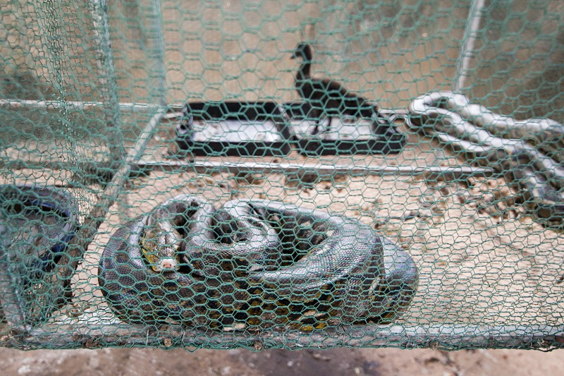 a king cobra snake in a cage with a chicken at the Ta Mok House of Khmer Rouge Nr.5 Ta Mok in the town of Anlong Veng in the province of Oddar Meanchey in Northwaest Cambodia.  Cambodia Anlong Veng November 2017 photo