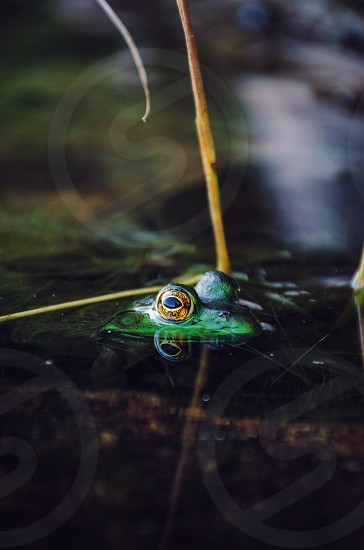 green frog in water during daytime photo