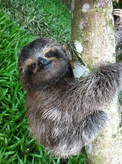 Baby three-toed sloth  photo
