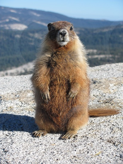 A Marmot sitting tall on top of Half Dome in Yosemite National Park. photo