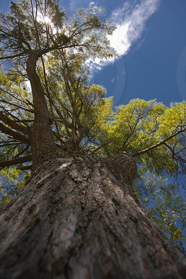 A majestic tree reaches to the beautiful blue sky.  Taken from a unique perspective. photo