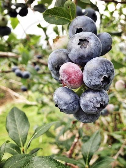 Blueberries you pick em Vermont berry blue green organic healthy beauty green mountains photo