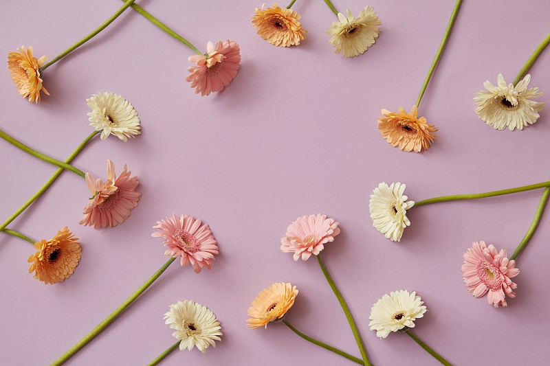 Creative pattern of various colorful gerberas on a pink paper background. Spring composition. As post card for Mother's day or 8 march with copy space. Flat lay. photo