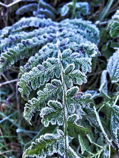 Frozen Fern photo
