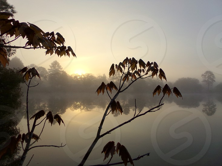 Maple leaves in Spring. Springtime maple tree mist fog reflection sunrise Florida Interlachen photo