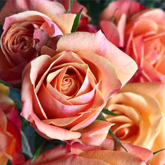 Mini Rose photo