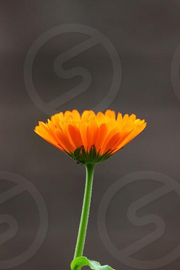 orange flower photo