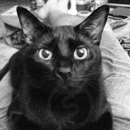 cat kitten black eyes ears feline stare whiskers photo