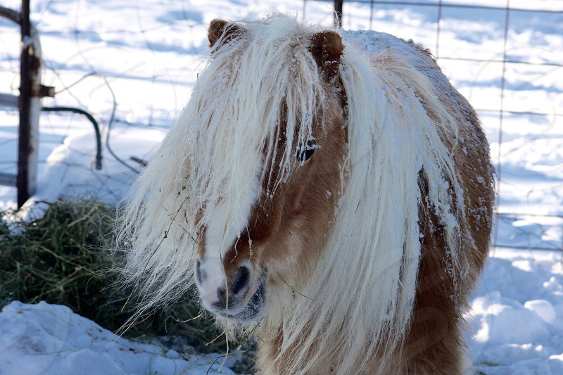 Mini horse after a snow storm photo