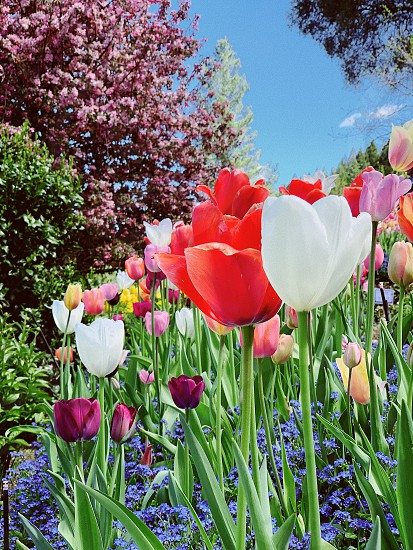 Flowers tulips spring colors photo