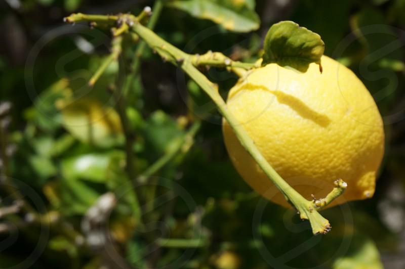 yellow lemon fruit tree photo