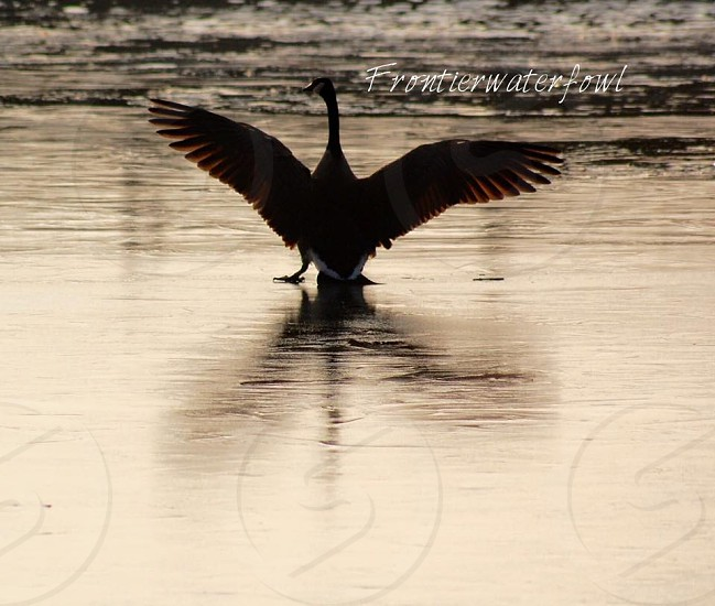 Goose flaring its wings on ice photo