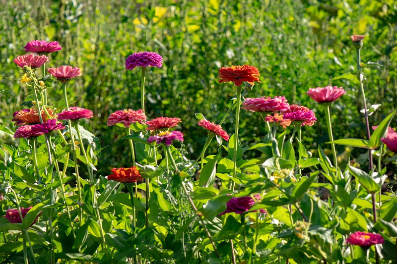 Red pink and purple flowers of zinia in a rural garden on a sunny summer day. Beautiful natural layout photo