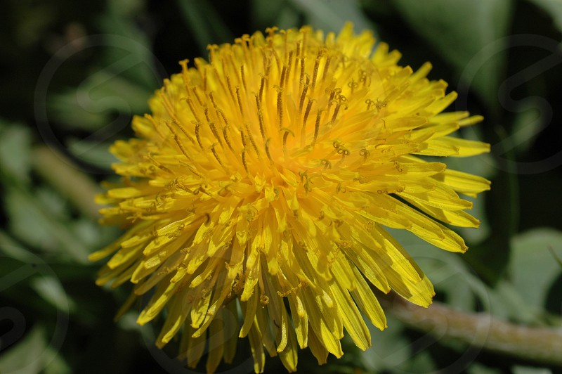 Dandelion  vibrant yellow pretty weed nature photo