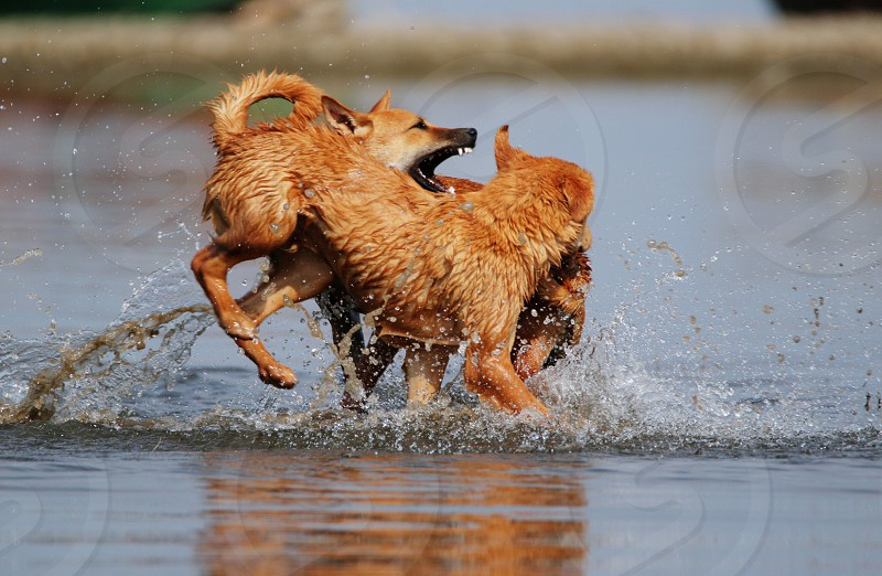 two medium short-coated tan dogs playing on body of water during daytime photo