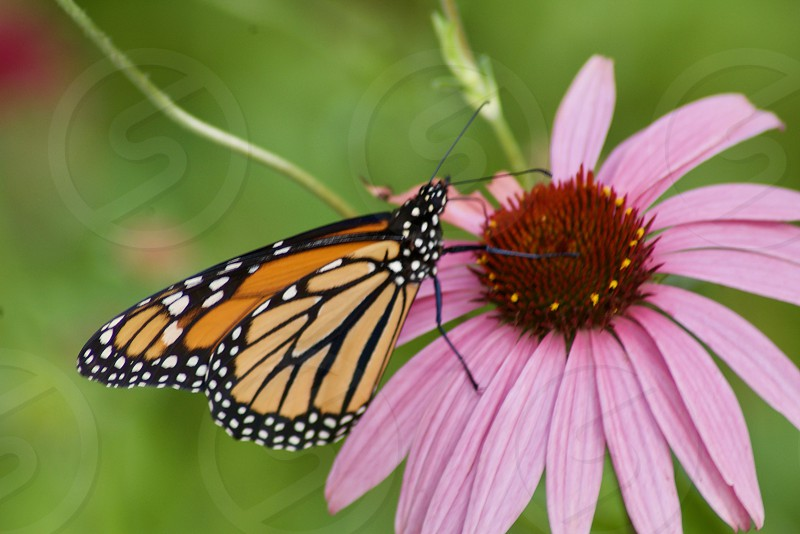 Butterfly on a flower Seattle Washington photo