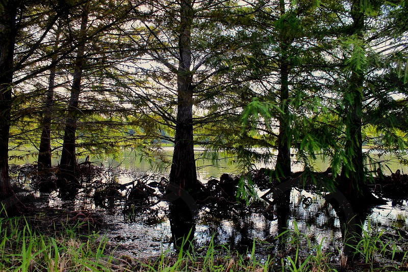 Bald cypress trees in a swamp in Arkansas photo