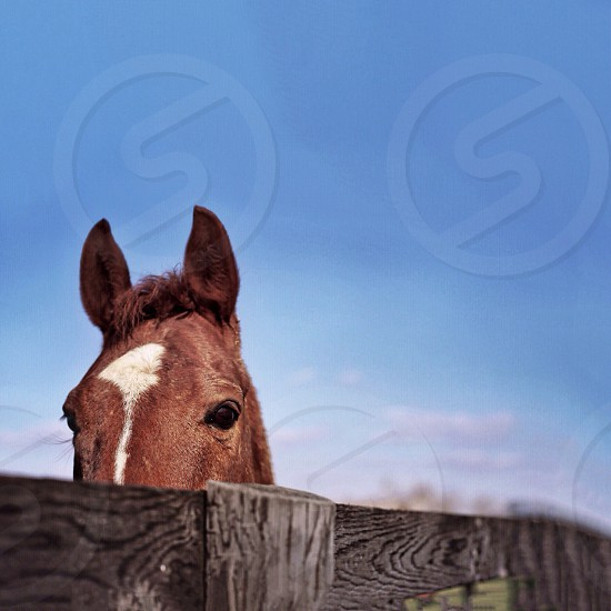 Brown horse behind a wood fence photo
