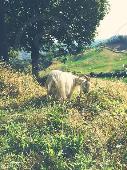 Goat Tree Cashmere photo