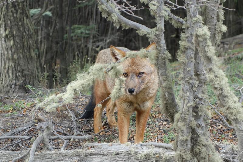 Wolf Hiding Camouflage Ushuaia Argentina Woods. photo