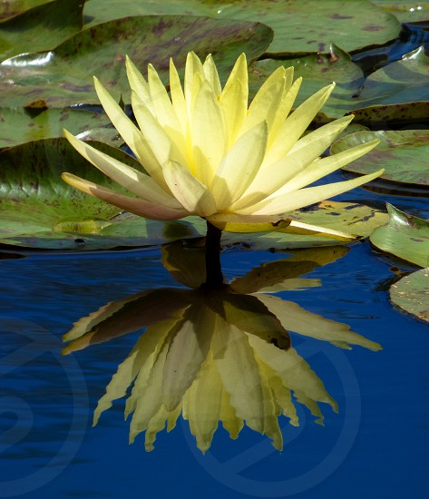 Truth reflected waterlily reflection photo