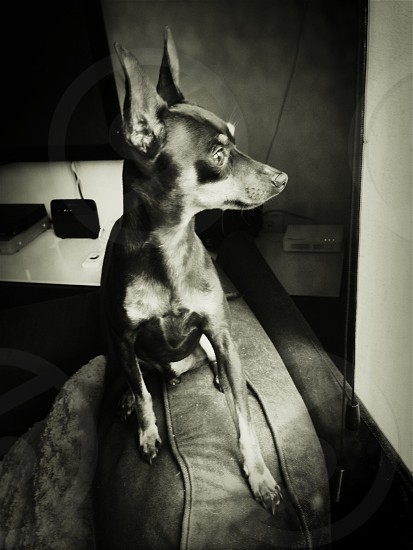Pixel my miniature pinscher looking out of the window while sat on a chair. photo