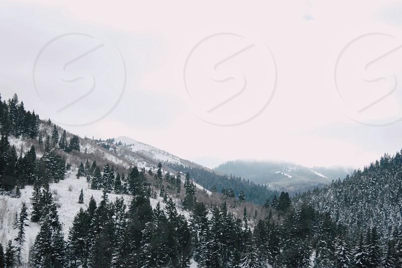 pine tress photo