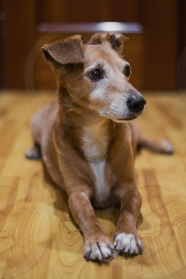 fawn and white short haired dog leaning on floor photo