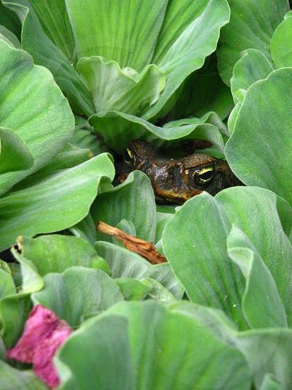 Frog reptile amphibian peek a boo photo