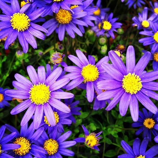 purple and yellow ornamental flower photo