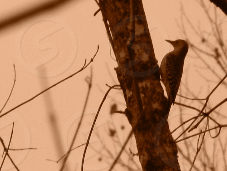 Woodpecker in the Trees                                photo