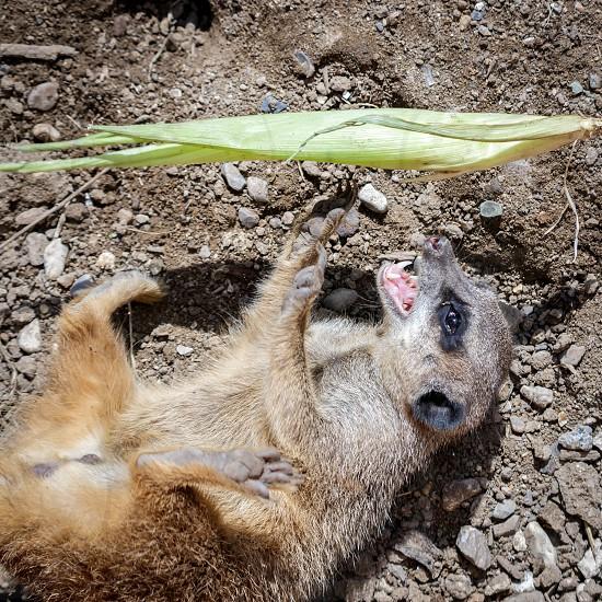 Meerkat or Suricate (Suricata suricatta) photo