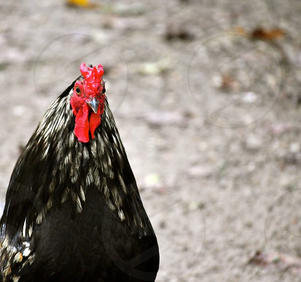 Black and red rooster photo