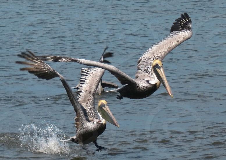 Pelicans Indian River Lagoon Florida photo