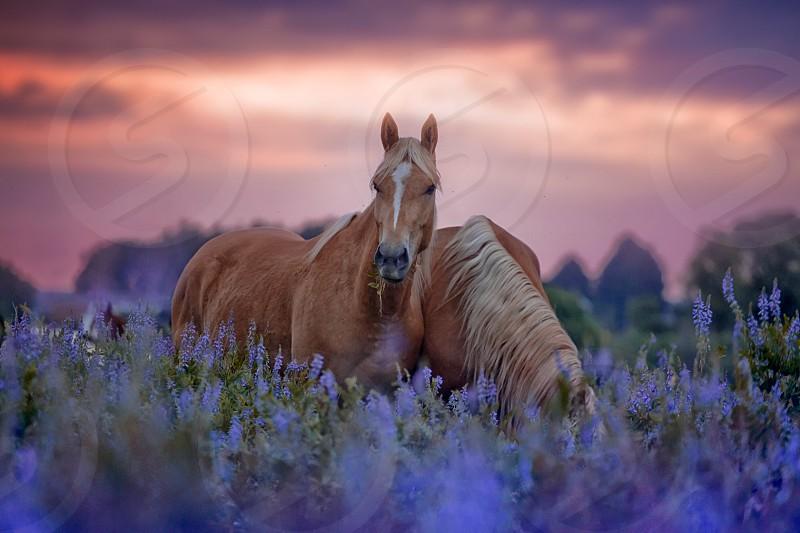 Horses farm equine equestrian rise sunrise sunset sundown field meadow violet pink palomino grazing  photo