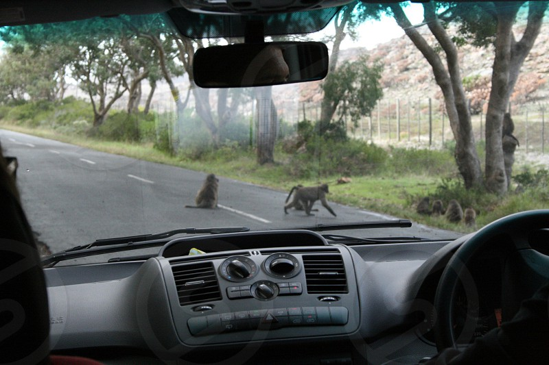 Baboons South Africa photo