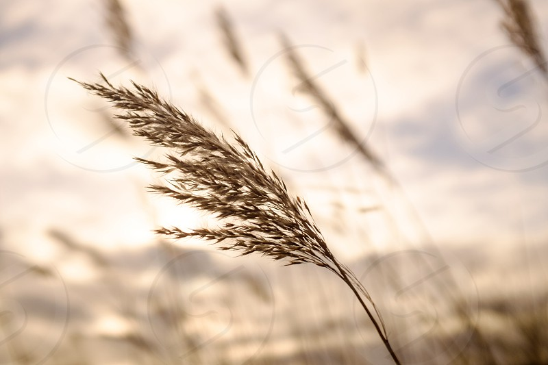 Close up of long seeded grass  blowing in the wind photo