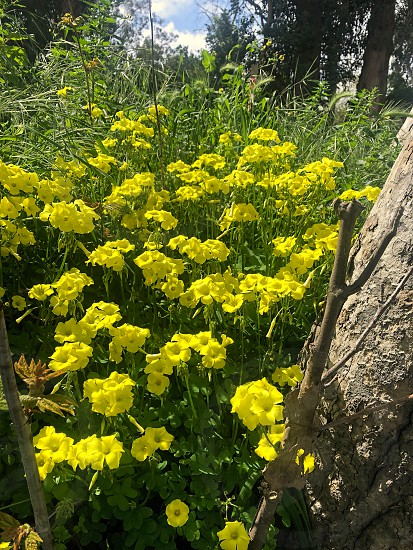 Yellow buttercup wildflowers grow in the woods in the Spring photo