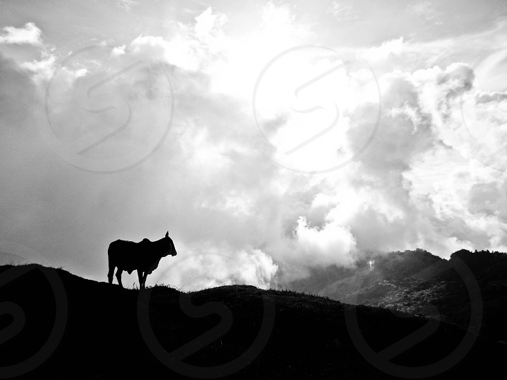 silhouette photography of cow on hill photo