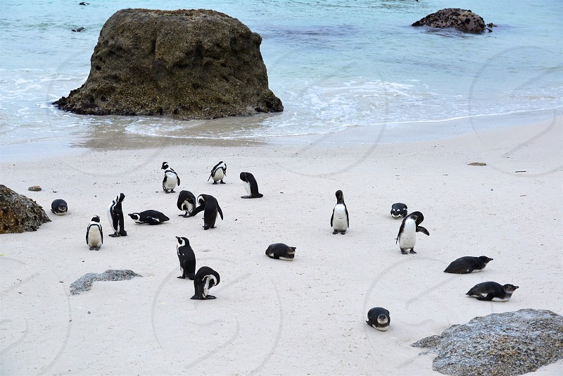 Boulders Beach - Penguin Colony - South Africa photo