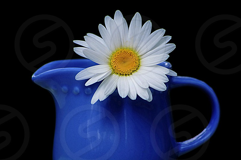 The Simplicity of Color - the return of bright spring color White Daisy with yellow center in ceramic blue pitcher photo
