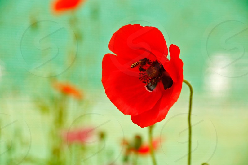 Spring Red Poppy Flower attracts a Bee... photo