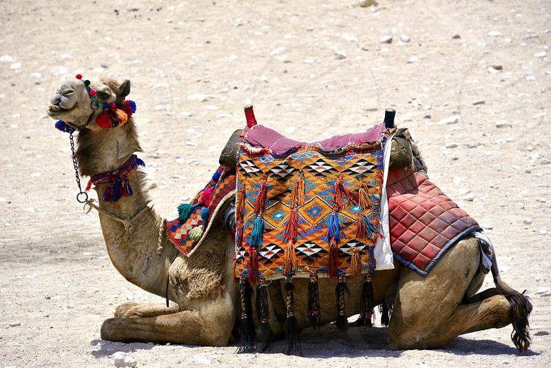 Camel at the Pyramids. photo