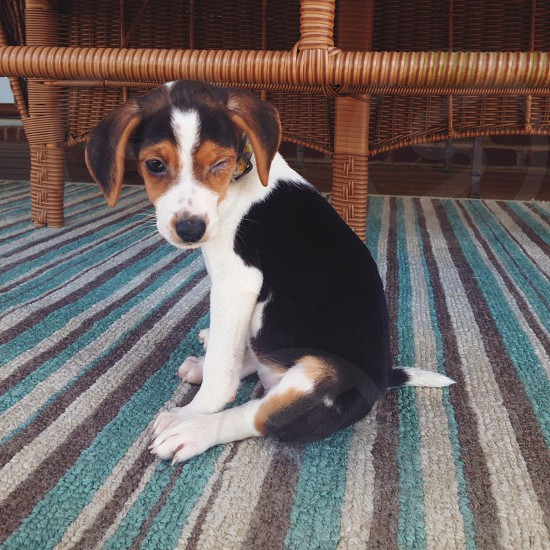 tricolor beagle puppy photo