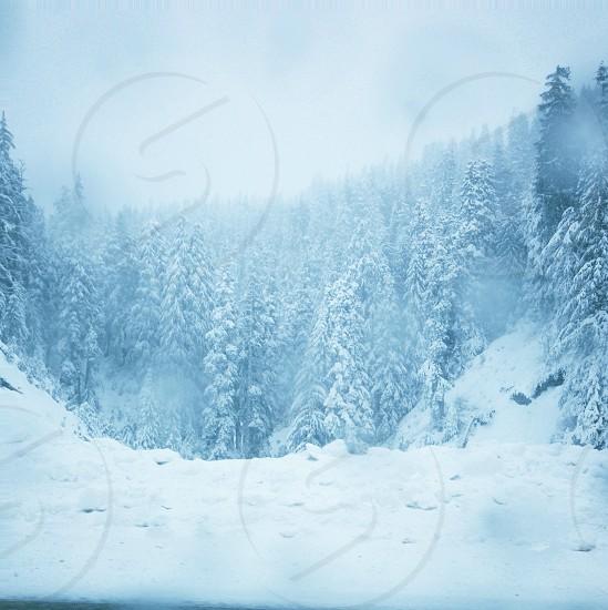 snowy pine trees photo photo